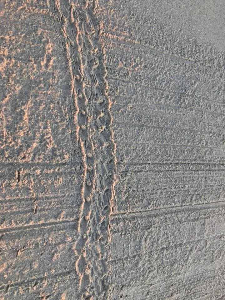 Baby Turtle Tracks captured by Jenny Ross
