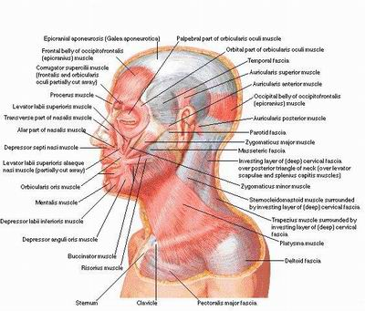 botox facial muscle diagram 12v solar panel wiring did you know that there are 43 muscles in the face?: some causes of wrinkles | perceiving beauty ...