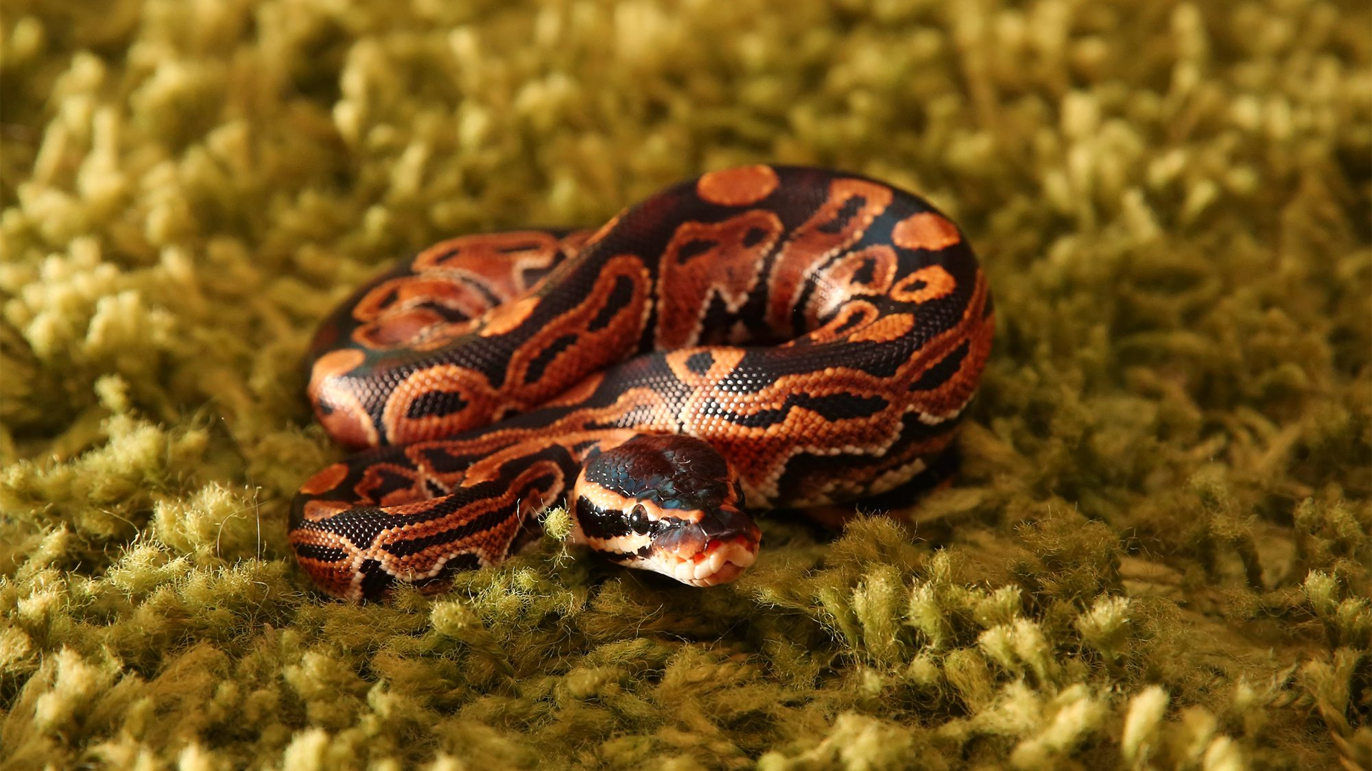 snake-hide