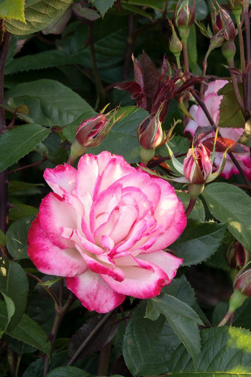 Grace-N-Grit pink bicolor shrub rose