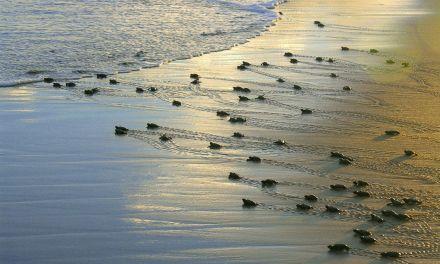Projeto Tamar anuncia marca de 40 milhões de tartarugas protegidas