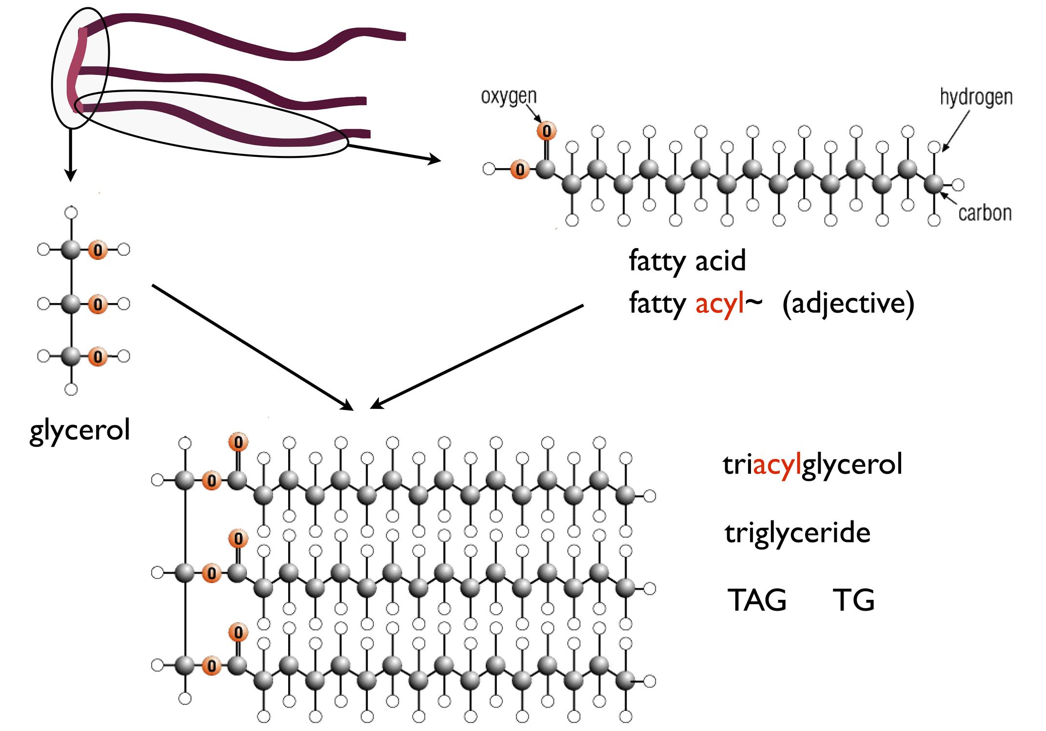 fat structure diagram 5 pin plug wiring intro to fatty acids and triglycerides richard david feinman