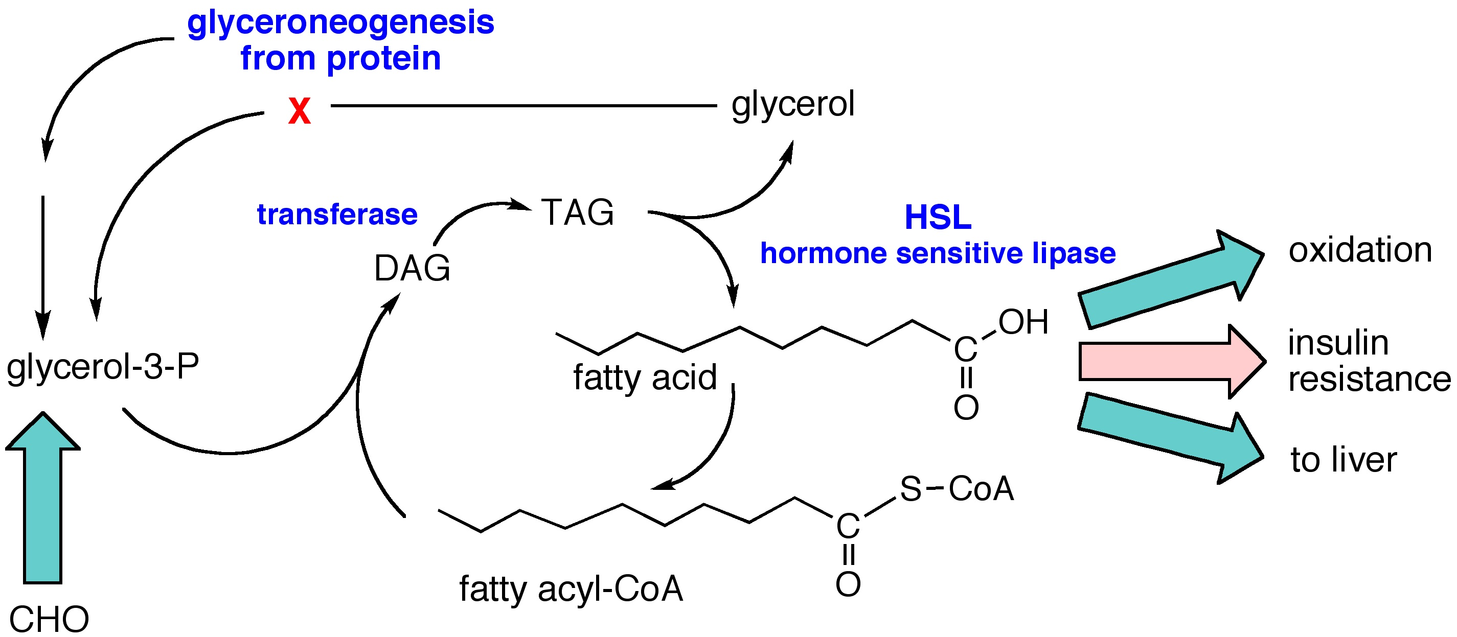 Intro To Fatty Acids And Triglycerides