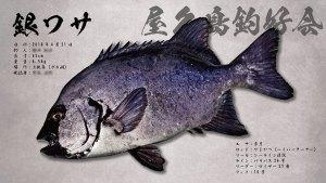 銀ワサ魚拓