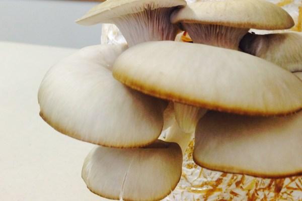 mushroom kit fruiting