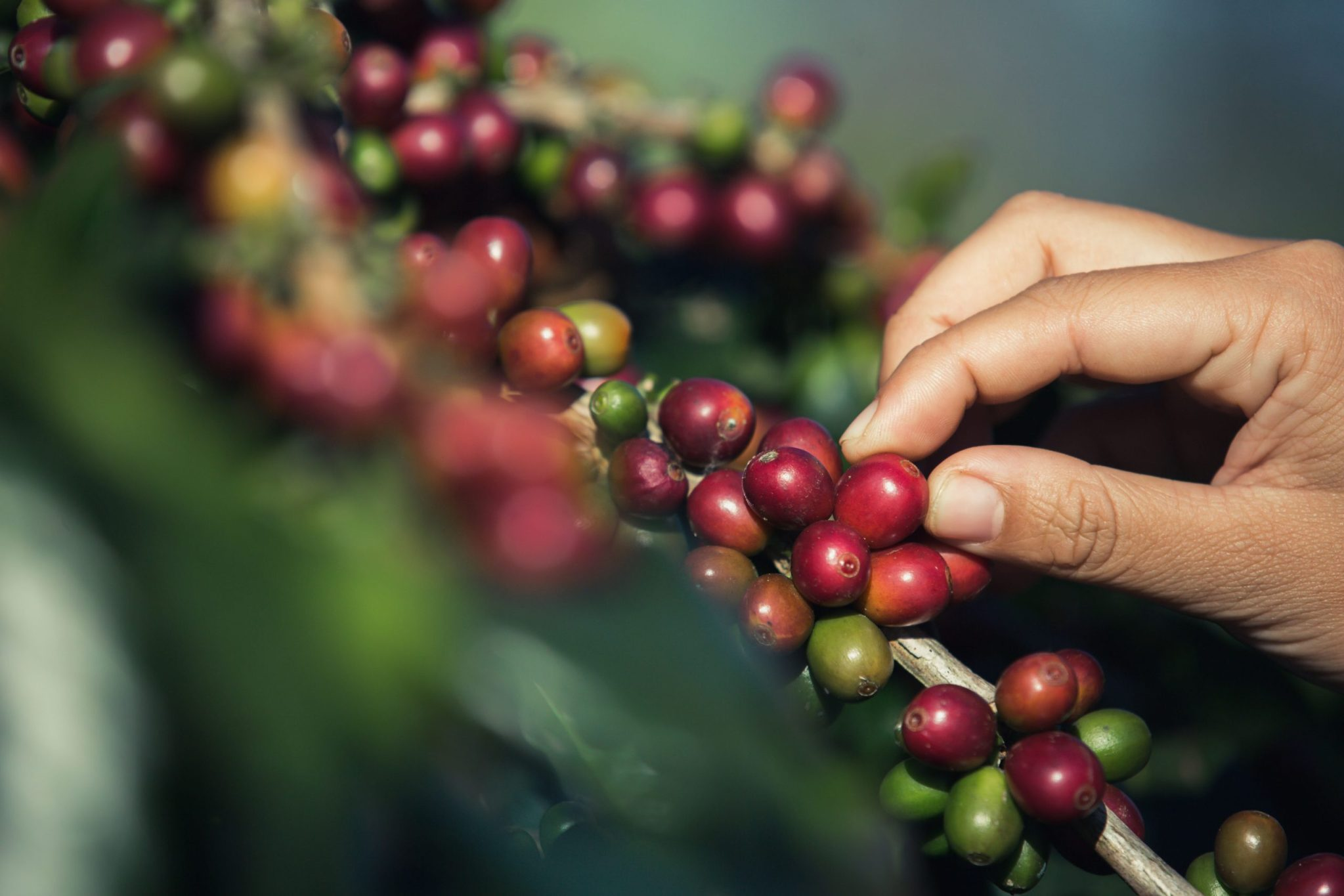 Hands that are picking coffee beans from the coffee tree