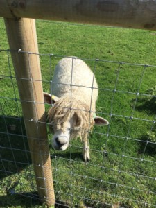 Rasta Sheep in Mary Arden's Farm in Stratford Upon Avon. Part of the Shakespeare's Birthplace Trust