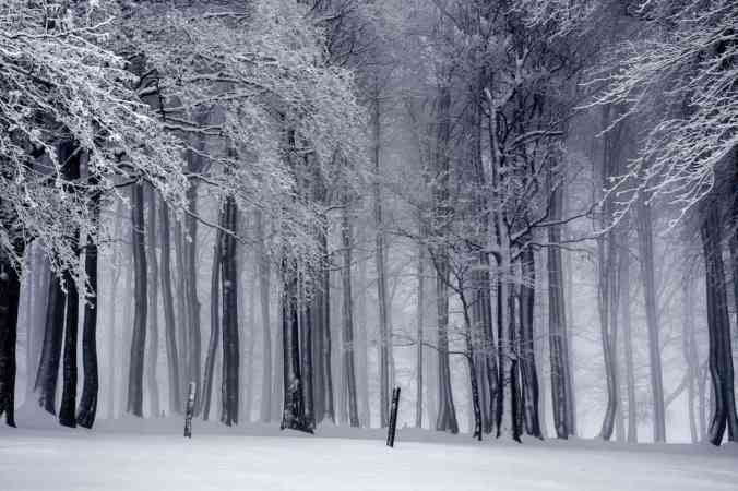 View of a snowy forest in the evening, tall ghostly trees, snow on the ground, no people in sight.