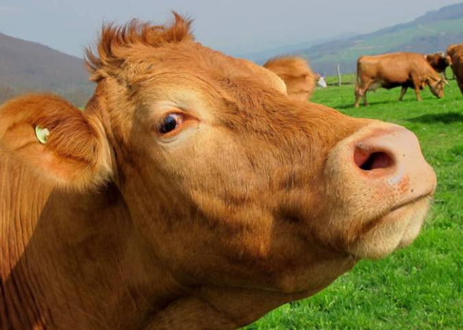 """This close-up of a quizzical cow in a meadow brings to mind the old joke: """"What's a metaphor? A place to keep cows in."""" NOT!"""