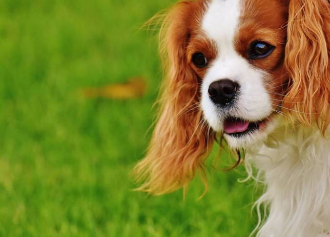 Close-up King Charles Cavalier Spaniel