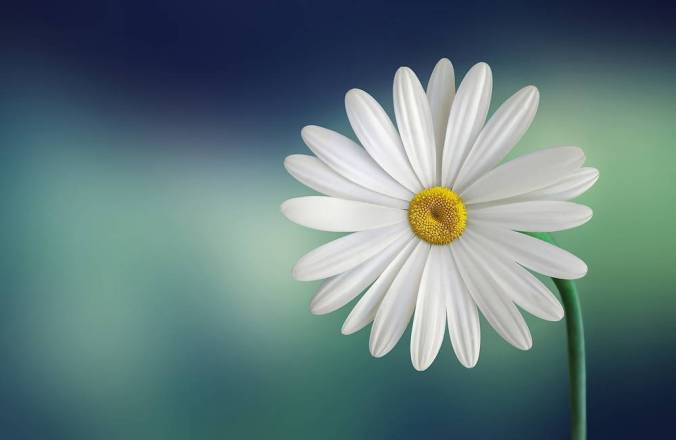 """Single Daisy represents the happy flower in """"Apparently with no Surprise"""""""