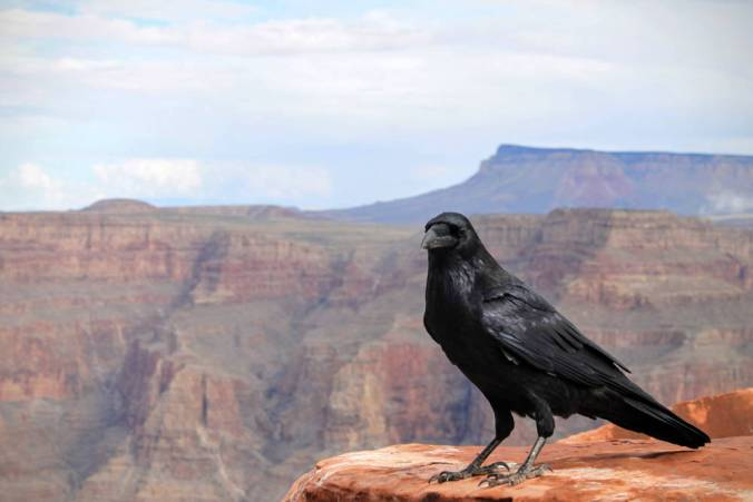 Crow or other large blackbird perched on rock on edge of cliff with beautiful canyon in background.