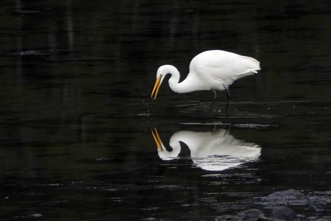 """Large white heron (bird) poised near a pond, reflected in the water, reminds us of the story """"A White Heron"""" which makes use of the narrator to characterize."""