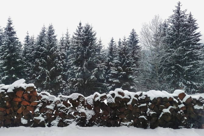 A stand of snowy pine trees behind a large woodpile.