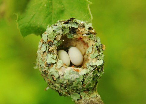 Ruby-throated Hummingbird Nest with Eggs