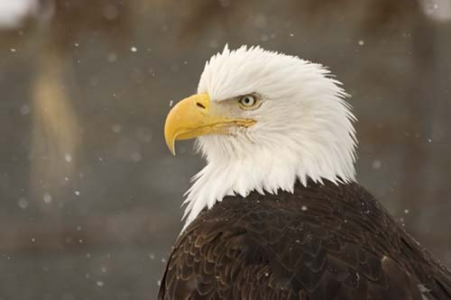 bald_eagle_bird_MG0813