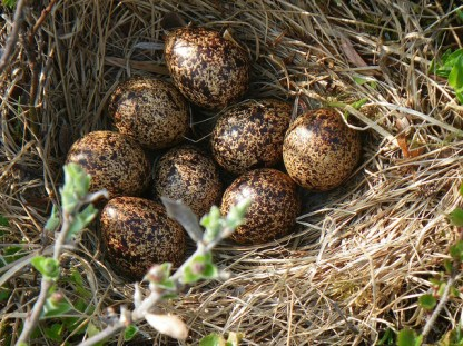ptarmigan nest and eggs