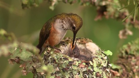 https://nestwatch.org/connect/home-2015/a-rufous-hummingbird-feeding-its-chick/