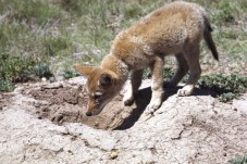 coyote-young-prairedoghole-wcnp-nps