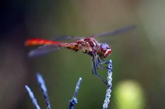 tonbo - libélulas en Japón