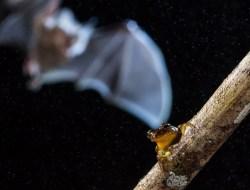«Тени в небе». Процесс охоты летучей мыши на древесную лягушку в бразильском Манаусе. (Фото Adrià López Baucells | University of Lisbon | British Ecological Society)