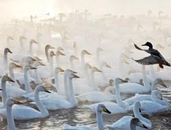 Заходный снимок сделан Евгением Мазуриным на озере Светлое в Алтайском Крае. С октября по апрель здесь зимуют лебеди-кликуны, а компанию им составляют кряковые утки. Именно утка и стала «дирижером» в лебедином хоре на этой шикарной фотографии.