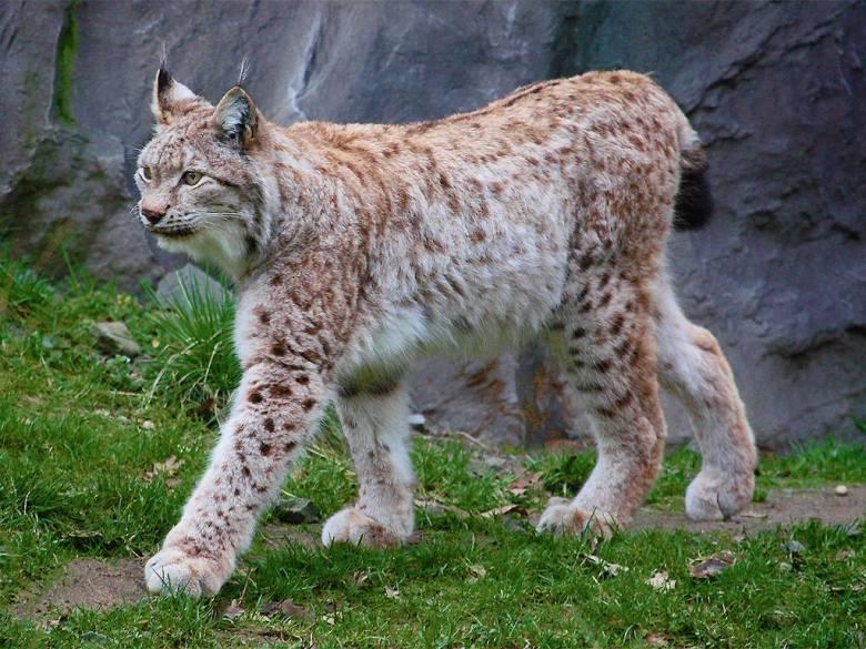 lynx-lynx