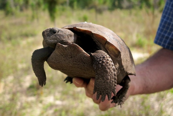 Gopher-Tortoise-hatchlings-onto-Nokuse
