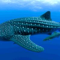 Купальщики поплавали с китовой акулой у берегов Мексики