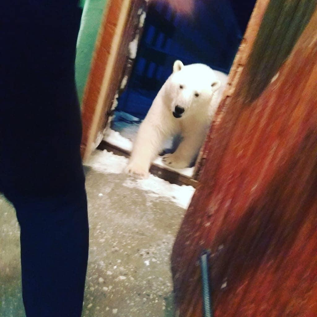 На архипелаге Новая Земля нашествие белых медведей