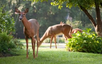 Deer-Resistant Gardening