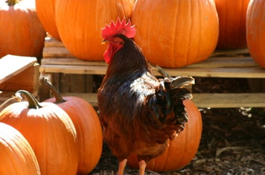 Your chickens will love this pumpkin treat. Best of all, it's super healthy!