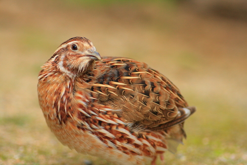 [Video] Why You Should Consider Quail For the Urban Homestead