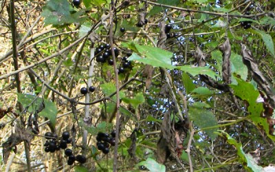 Harvesting and Utilizing Wild Grapes