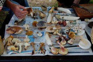 edible-mushroom-forage6