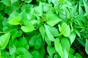 Sweet potato leaves are a good source of vitamins