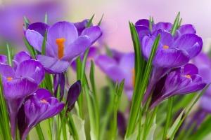 saffron_heals_soul(2)