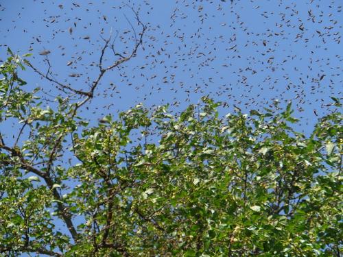 bee swarm wikimedia