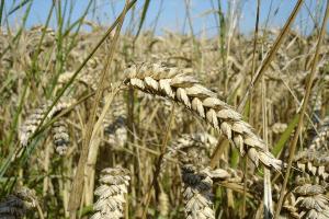 wheat wikimedia