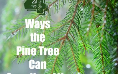 4 Ways the Pine Tree Can Save Your Life
