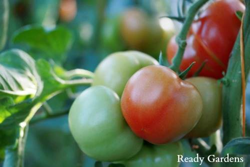 10 Gardening Tips for Growing Market-Worthy Tomatoes