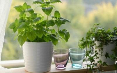 3 Medicinal Herbs You Can Grow Indoors
