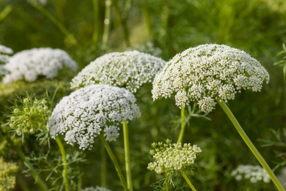 Yarrow Herb: It's Health Benefits And How To Use It Medicinally