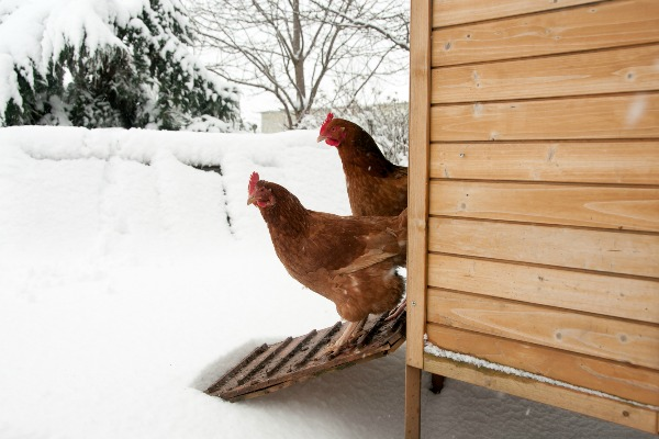 How To Get More Eggs From Chickens Over Winter