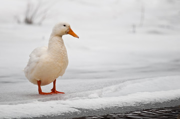 How to Prepare Your Flock of Ducks For Winter