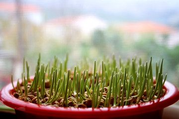 The Benefits of Wheatgrass and Why You Should Grow It This Winter