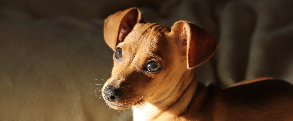 Nutrition Tips for Your Chiweenie