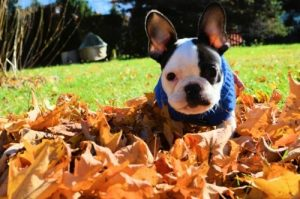 French bulldog playing leaves