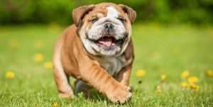 English bulldog smiling and running through the grass funny