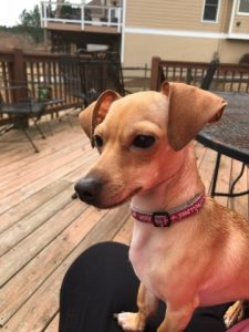 Chiweenie sideview